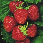 Strawberries for Sweetness